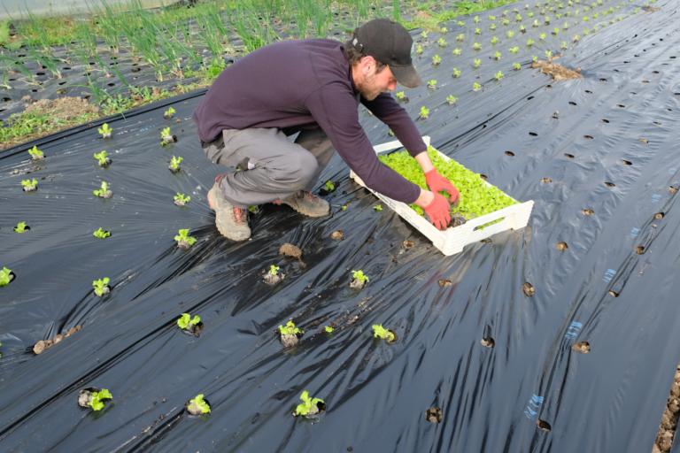 salade plantation